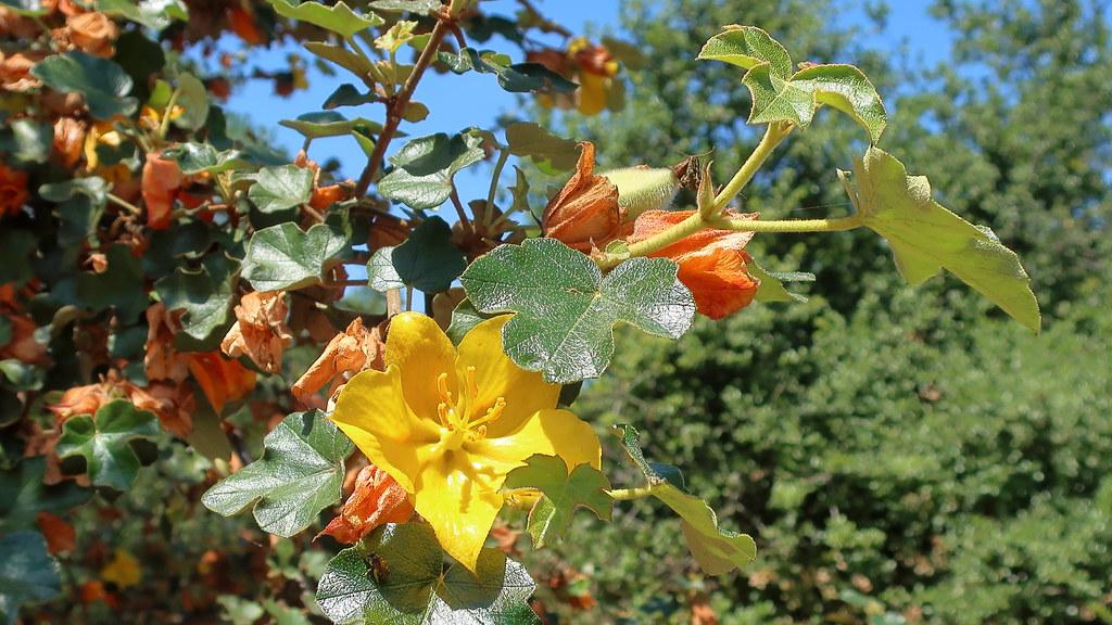 California Flannel Bush