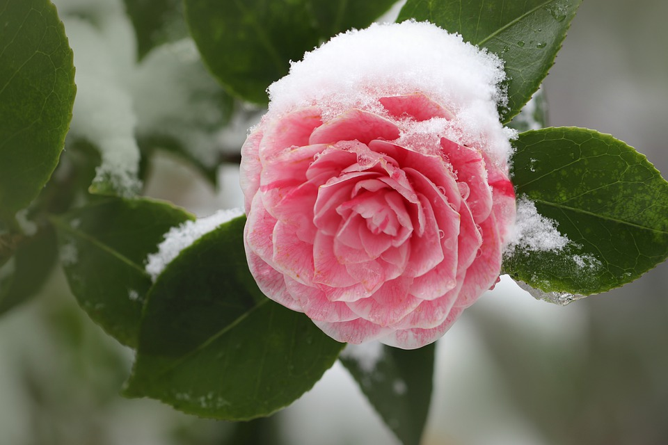 Camellia Ice Snow Blossom Bloom Frost Winter