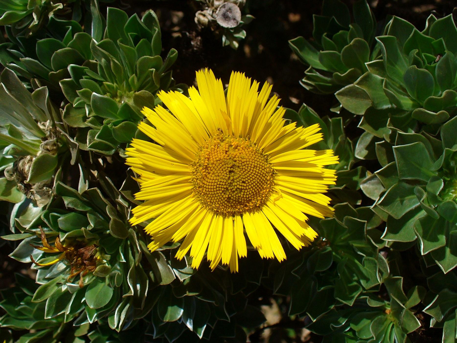 Canary Island Daisy