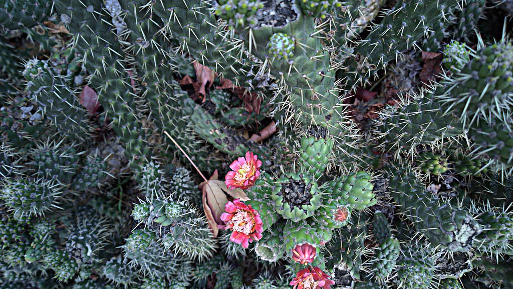 Eve's Needle Cactus