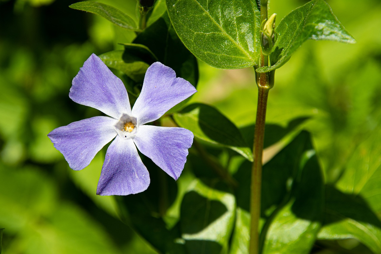 Great Periwinkle