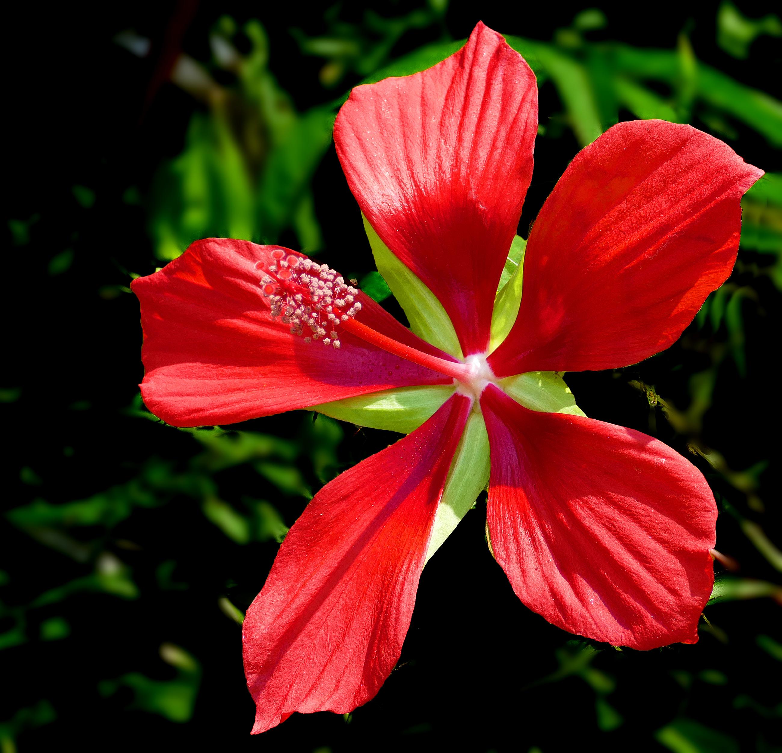Scarlet Rose Mallow