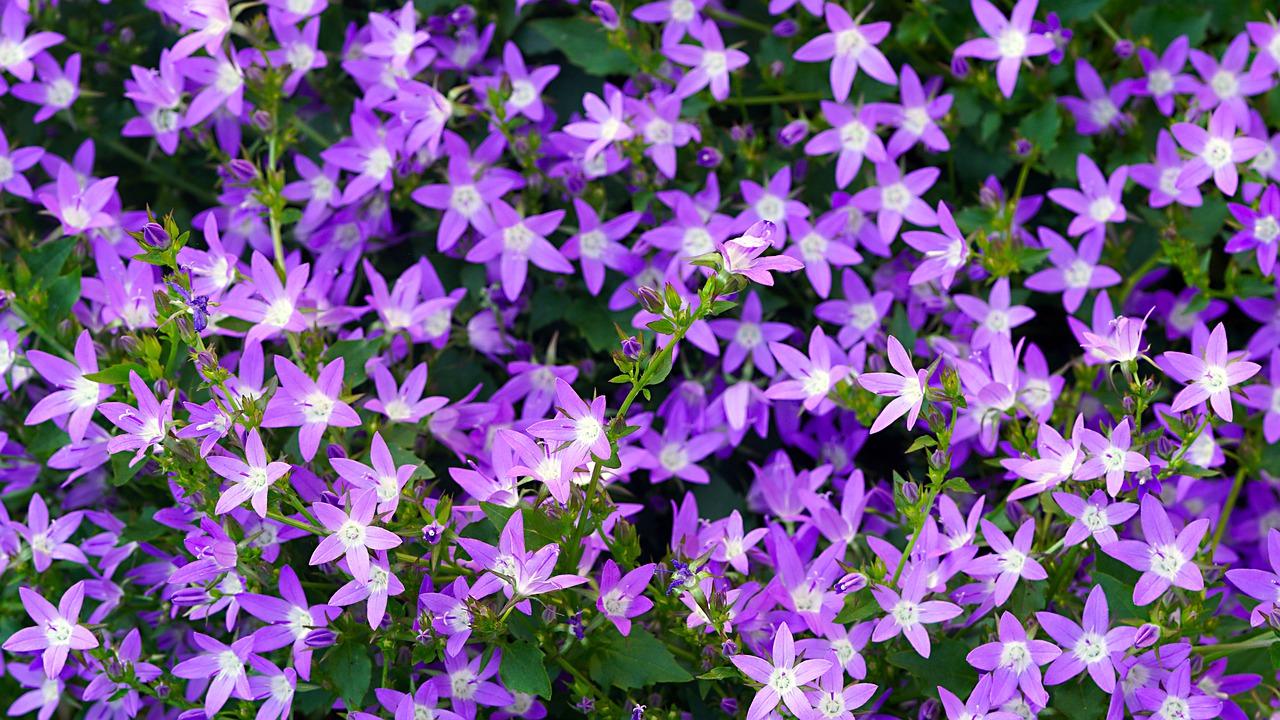 Spiny Lilac Flower Cactus