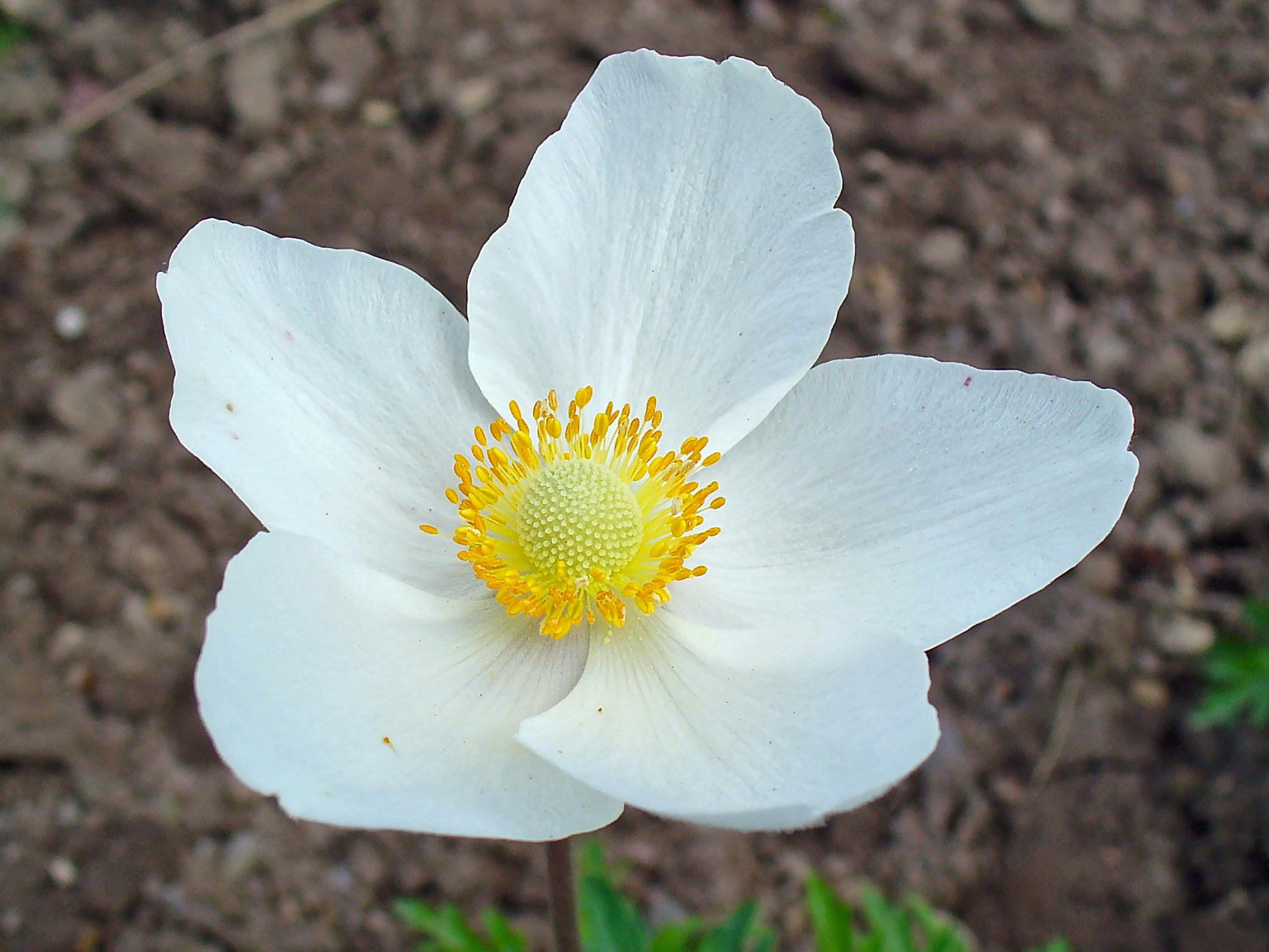 Snowdrop Windflower