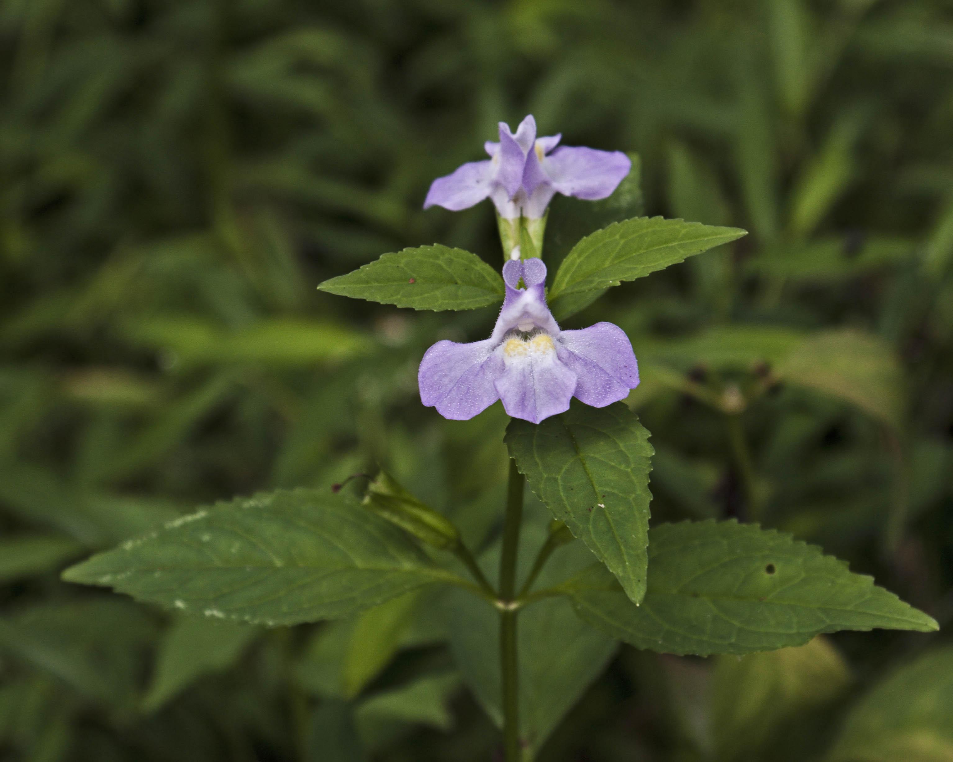 Winged Monkey Flower
