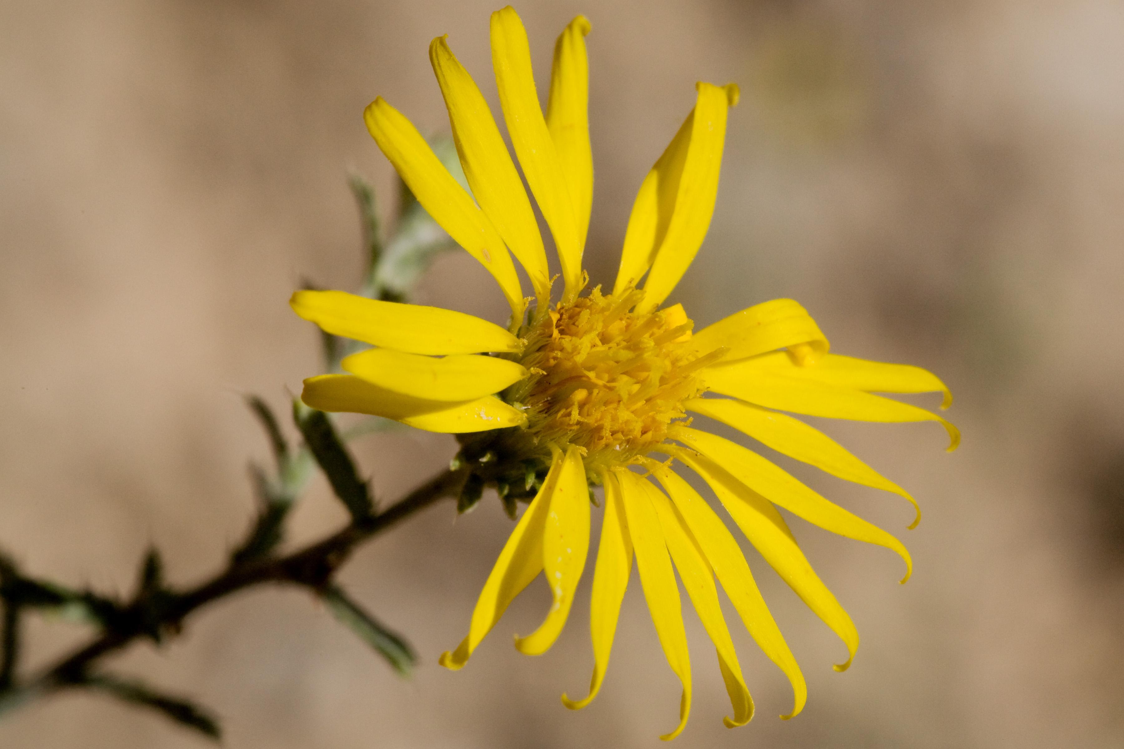 <i>Xanthisma spinulosum</i>