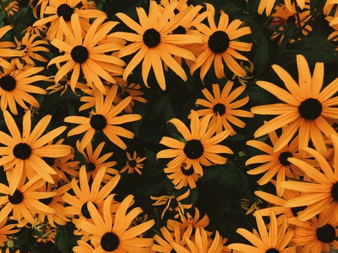Yellow-Eyed-Grass